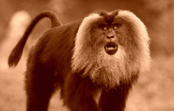 Lion tailed Macaque -  Macaca silenus