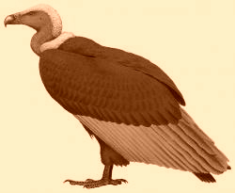 White backed or Bengal Vulture -  Gyps bengalensis